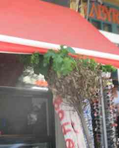 Αγιος Νικόλαος, Δένδρο έξω από καφετέρεια οικογένειας Γιαννικάκη - 200908051543-2