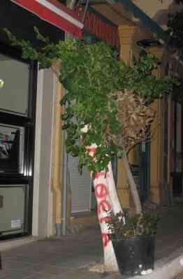 Αγιος Νικόλαος, Δένδρο έξω από καφετέρεια οικογένειας Γιαννικάκη - 200908120230